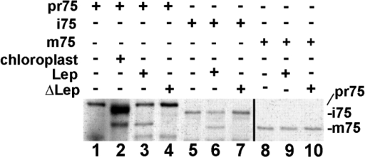 A bacterial SPase I can convert Toc75 precursor to its mature form. Radiolabeled precursor (pr75; lane 1; 10% input) was converted to the intermediate (i75) and mature (m75) forms by chloroplast protein import assay in vitro (lane 2). When pr75 or i75 was incubated with Lep, the production of m75 was detected, whereas m75 was not processed (lanes 3, 6, and 9, respectively). Heat-denatured Lep was used as a negative control (lanes 4, 7, and 10). The black line indicates grouping of images of different exposures.