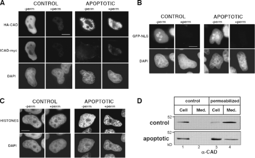 Extractability of CAD from normal and apoptotic HeLa cells. (A–C) Indirect immunofluorescence of (A) HA-CAD/ICAD-myc, (B) GFP-NLS, and (C) histones in HeLa cells. The indicated proteins were immunostained in cells fixed with PFA before (−perm) or after (+perm) permeabilization in cytoskeletal buffer containing 0.2% Triton X-100. DNA was stained with DAPI. Apoptosis was induced with STS for 2 h. Single optical sections were acquired with a fluorescence microscope (DMI RE2; Leica) and OpenLab software. Bars, 10 μm. (D) Nuclear retention of endogenous CAD. Lysates were prepared from normal and apoptotic HeLa cells before (lane 1) or 5 min after (lane 3) permeabilization as in A–C. Extracellular release of CAD from the cells is shown in lanes 2 and 4. Apoptosis was induced with STS for 2 h. Cell lysates and medium corresponding to the same number of cells was processed for Western blot using an anti-CAD antibody.