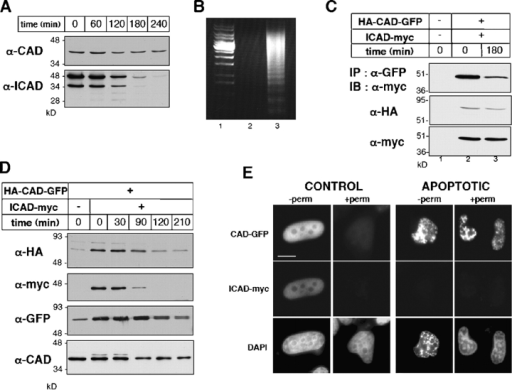 Biogenesis and stability of CAD and ICAD in dividing and apoptotic cells. (A) The stability of endogenous ICAD and CAD in HeLa cells during STS-induced apoptosis. Cellular proteins (40 μg) were separated by SDS-PAGE and probed by immunoblotting with anti-CAD and anti-ICAD antibodies. (B) Internucleosomal DNA fragmentation after 2.5 h apoptosis (lane 3). The accumulation of 200-bp nucleosomal DNA fragments is characteristic of late stage of apoptosis. Soluble DNA fragments were absent in control HeLa cells (lane 2). 1-kb DNA ladder; lane 1. (C and D) HeLa cells were transiently transfected with the HA-CAD-GFP and ICAD-myc vectors or carrier DNA. (C) Cell lysates from normal (lane 2) and STS treated HeLa cells (lane 3) were immunoprecipitated with an anti-GFP antibody. Precipitates (top panel) and 10% of the lysates (bottom panels) were immunoblotted. (D) The expression and stability of ICAD-myc and CAD-GFP were determined as described in A. (E) Indirect immunofluorescence of HeLa cells expressing CAD-GFP/ICAD-myc fixed before (−perm) or after (+perm) permeabilization as in Fig. 1 A. (F) Number of cells retaining nuclear CAD-GFP and GFP-NLS under permeabilization. After in vivo permeabilization as in A, cells were fixed and chromatin was counter-stained with DAPI. Approximately 500 nuclei were scored for their fluorescence for each condition. The number of cells expressing CAD-GFP was expressed as the percentage of nuclei remaining fluorescent upon permeabilization of cells. (G) DNase activity of CAD-GFP. Transiently expressed HA-CAD-GFP/ICAD myc was immunoisolated from HeLa cell lysate with an anti-HA antibody on protein G–Sepharose. Purified HA-CAD-GFP/ICAD-myc complex was incubated with plasmid DNA alone (lane 3, −casp) or in the presence of recombinant caspase-3 (lane 4, + casp). Nontransfected cells were used as control (lanes 5 and 6).