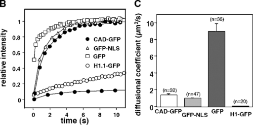 Nuclear dynamics of CAD in dividing HeLa cells. (A) Photobleaching of nuclear CAD-GFP, GFP-NLS, GFP, and H1.1-GFP in transiently transfected HeLa and MEF ICAD−/− cells. FRAP was performed as described in Materials and methods. Images show single x-y sections of the nucleus and were obtained before (pre) and after the bleach at indicated times. Although the laser intensity was sufficient to cause complete loss of fluorescence in PFA fixed cells, partial recovery occurred during the first scan due to the rapid lateral diffusion of the GFP chimeras. (B) Quantitative FRAP. Normalized fluorescence recovery was plotted as a function of time. Negligible recovery occurs on PFA-fixed HeLa cells (+PFA). (C) Diffusional coefficients of GFP and GFP chimeras in the nucleus of HeLa cells. The recovery curves were fitted according to a one-dimensional diffusion formula described in Materials and methods. Data are means ± SEM; n is indicated in brackets. (D) FLIP of CAD-GFP and GFP in HeLa cells. A 2-μm circle in the nucleus of HeLa cells expressing CAD-GFP or GFP was bleached in every 10 s. The entire nucleus was imaged after each bleach. Scans of the remaining fluorescence in the whole nucleus are shown for CAD-GFP– and GFP-expressing cells for the indicated times after the first bleach. Bar, 5 μm. (E) Quantitative FLIP. The ratio of the average fluorescence intensity of the half nucleus opposite to the bleach spot relative to the prebleach image was plotted at each time point. (F) Diffusional coefficients of CAD-GFP/ICAD in the nucleus of HeLa, BHK, MCF7, and MEF ICAD−/− cells. Diffusional coefficients were calculated as described in C. Data are means ± SEM.
