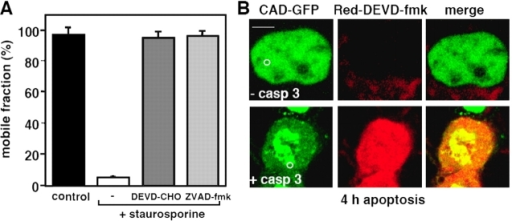 The immobilization of CAD in the apoptotic nucleus is caspase-3 dependent. (A) Effect of caspase inhibitors on CAD-GFP diffusional mobility. HeLa cells were exposed to STS for 3 h in the presence of DEVD-CHO (20 μM) or ZVAD-fmk (50 μM). Immobile fraction was determined by FRAP as described in Fig. 5. (B and C) CAD-GFP is immobilized only in exogenous caspase-3–expressing MCF7 cells. (B) x-y optical sections of MCF7 cells, cotransfected with CAD-GFP, ICAD-myc, and procaspase-3. Cells were incubated for 3.5 h with STS before the caspase-3 substrate Red-DEVD-fmk was added to the medium to identify cells containing only CAD-GFP (−casp3) or both CAD-GFP and active caspase-3 (+casp3). CAD-GFP mobility was measured by FLIP as described in Fig. 3 D. Bar, 10 μM. (C) Results from B were plotted as in Fig. 3 D. Control represents a nontreated MCF7 cell.