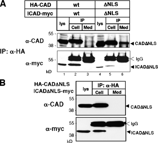 Interfering with nuclear entrapment of CAD facilitates its extracellular release from apoptotic cells. (A) HeLa cells, transiently expressing the mouse HA-CAD/ICAD-myc or the HA-CADΔNLS/ICADΔNLS-myc complex were exposed to STS for 2.5 h in serum-free medium. CAD was immunoprecipitated from both the medium (med) and the cell lysate (cell) with anti-HA antibody. The precipitates and the cell lysates (lys) were probed with anti-CAD and anti-myc antibodies to visualize exogenous CAD and ICAD. (B) As a control, HeLa cells were transfected with the HA-CADΔNLS/ICADΔNLS-myc and were incubated overnight in serum-free medium. CAD was then immunoprecipitated from the medium and probed with the indicated antibodies.