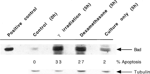 Upregulation of Bad expression during thymocyte apoptosis.  Total cell lysate from 107 thymocytes per lane was resolved by SDS  PAGE, Western blotted, and Bad expression detected by probing with  anti-Bad antibody. Cell lysate was prepared from thymocytes immediately  after removal of the thymus from C57 Bl/10 mice (Control, 0 h). Lysates  were also prepared from thymocytes 5 h after γ-radiation, 5 h with 5 μM  dexamethasone, or 5 h in culture alone. The percent apoptosis in the  samples before cell lysate preparation is shown. The positive control for  Bad expression is a thymocyte lysate from a bad transgenic mouse; equal  numbers of cells were not added in this lane. Tubulin expression is a loading control to show that each track contains approximately equivalent  amounts of protein.