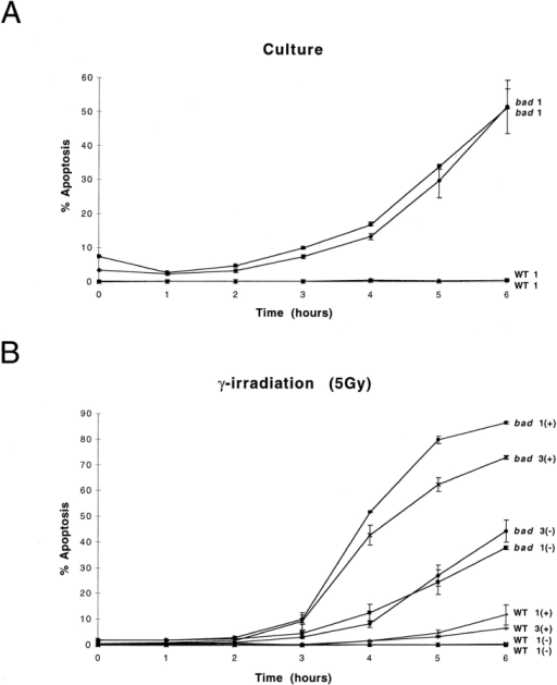 bad transgenic mice exhibit increased levels of apoptosis. (A) Total thymocytes from bad and nontransgenic (WT) littermates were cultured  in vitro for 6 h. Duplicate samples were analyzed from each mouse at each time point indicated. Each value represents the mean ± range of the duplicate  determinations. Two individual mice per phenotype are represented. The (+) indicates the presence of the apoptotic stimulus and the (−) indicates its  absence. The numbers 1 and 3 refer to mice from the independent bad transgenic lines 1 and 3, respectively. Similar studies were carried out after treatment  with either (B) 5 Gy γ-irradiation, (C) 5 μM dexamethasone, or (D) anti-CD95 antibody, together with untreated controls. Similar results were obtained  in three independent experiments.