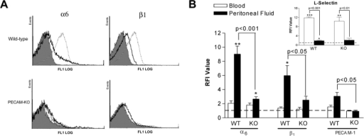 Cell surface expression of α6β1, PECAM-1, and L-selectin on blood and IL-1β–elicited peritoneal neutrophils in WT and PECAM-1 deficient (KO) mice. Panel A shows representative fluorescence histograms comparing cell surface expressions of α6 and β1 on blood and IL-1β–induced peritoneal neutrophils in WT and PECAM-1 deficient mice, as indicated. The filled tracings are from blood samples incubated with an isotype-matched control mAb (the same low binding was found with peritoneal samples) and the solid and dashed line tracings are from blood and peritoneal samples, respectively, incubated with mAbs GoH3 (anti-α6) or 9EG7 (anti-β1), as indicated. B shows pooled relative fluorescence intensities of samples stained with specific antibodies and analyzed and quantified by FACS® as detailed in Materials and Methods. The data represent mean ± SEM of samples obtained from n = 3–10 animals/group. Significant binding of primary mAbs is indicated by asterisks, *P < 0.05, **P < 0.01 and other statistical comparisons are indicated by lines.