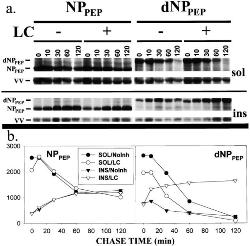 Proteasome-dependent degradation of dNPpep. 143B cells were pulse radiolabeled with [35S]Met and chased for up to 120 min at 37°C in the presence or absence of LC. Radioactive proteins soluble in 1% TX100 (sol) or insoluble (ins) were separated by SDS-PAGE and the bands corresponding to dNPpep or NPpep located in the dried gel (a) and quantitated (b) after normalization using a VV-encoded protein as an internal standard (indicated as VV).