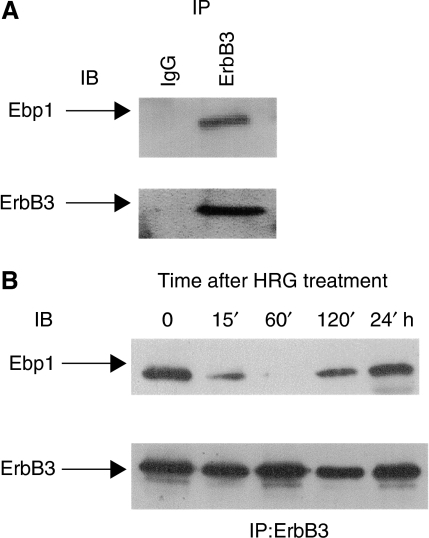 In vivo interaction of Ebp1 with ErbB3 (A) Ebp1 associates with ErbB3 in LNCaP cells. LNCaP cell lysates were immunoprecipitated with mouse isotype control IgG (lane 1) or an anti-ErbB-3 monoclonal antibody (lane 2) and analysed by sequential immunoblotting (IB) with either Ebp1 (top panel) or ErbB3 (bottom panel) antibodies. (B) HRG-induced dissociation of Ebp1. LNCaP cells were left untreated (0) or stimulated with HRG (20 ng ml−1) for the times indicated. ErbB-3 associated Ebp1 was analysed by ErbB-3 immunoprecipitation (IP) and sequential immunoblotting (IB) with antibodies against Ebp1 (top) and ErbB-3 (bottom).