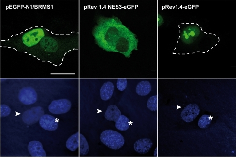 BRMS1 protein migrates between nuclei in interspecies heterokaryon.Human HeLa cells were transfected with a plasmid encoding the entire BRMS1 sequence (pEGFP-N1/BRMS1), a non-shuttling (pRev1.4-eGFP) or a competent shuttling vector (pRev1.4NES3-eGFP). Then, HeLa cells were co-cultured with mouse myoblast. After fusion, cells were fixed and stained with Hoescht. Cycloheximide was added to the cell culture medium before fusion and maintained throughout culture of heterokaryons. Cellular distribution of GFP fusion proteins (top) and nuclear staining (bottom) were analyzed. Mouse and human nuclei are marked by asterisk and arrowhead respectively. Heterokaryons are marked with a dashed line. Bar represents 20 µm.