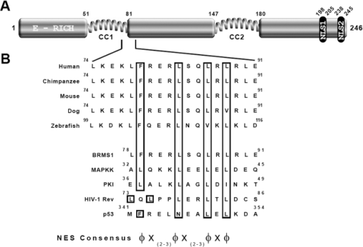 BRMS1 comprise a putative NES motif that compare to leucine-rich NES.(A) Schematic representation of the BRMS1 structure showing the putative NES sequence boundaries identified by NetNES 1.1 server. (B) Alignment of conserved hydrophobic residues (in boxes) from different BRMS1 orthologs. Numbers refer to amino acid residues. Human putative NES-BRMS1 sequence is compared with known NES, ranging from highest (MAPKK; PKI and Rev) to the weakest (p53) activity. A generally accepted loose consensus sequence, where X represents any amino acid and Φ any large hydrophobic residue (L, I, V, F, M) is shown.