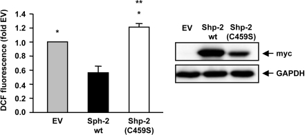 Shp-2 reduces endogenous ROS formation.                                        Endothelial cells were transfected with empty vector (EV), Shp-2 wt or                                        Shp-2(C459S) and endogenous ROS formation was measured using FACS analysis.                                        *p<0.05 versus Shp-2 wt. **p<0.05 versus EV. Data are means +/- SEM                                        (n=6).                                        The Western blot on the right demonstrates expression of Shp-2 wt and Shp-2(C459S), which were detected with anti-myc antibody.