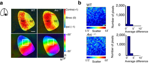Loss of Arc does not affect V1 responsiveness and organization. (a) Intrinsic signal imaging of V1 (left inset) in WT and Arc−/− mice. (Top) Ocular dominance map of V1, in a WT mouse (left) and an Arc−/− mouse (right); MZ=monocular zone, BZ=binocular zone. Scale at right illustrates binocularity index of pixels. Scale bar= 500 µm. V1 in Arc−/− mice is similar to that in WT mice in total area (WT n=6, area=1.401±0.07 mm2; Arc−/− n=10, area=1.270±0.15 mm2; p>0.5, t–test). (Bottom) Retinotopic organization of V1 in a WT mouse (left), and an Arc−/− mouse (right). Each image shows the mapping of elevation according to scale at top right. (b) Scatter analysis of 50×50 pixel area within white box in A, for WT and Arc−/− mice. The receptive field center (phase) difference between sets of 5 adjacent pixels is shown in histogram at right. The precision of local mapping is comparable between WT and Arc−/− mice.