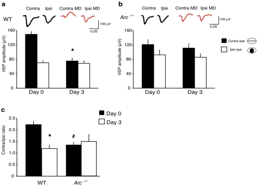 Chronic VEP recordings show that Arc−/− mice do not exhibit ocular dominance plasticity after short–term monocular deprivation. (a) WT mice exhibit a significant depression in contralateral (deprived eye) responses (n=11; Day 0=149±8.8 µV, 3 Day monocular deprivation=75.4±8.8 µV, *p< <0.0001, paired t–test). No significant change was observed in ipsilateral responses (n=11; Day 0=70.4±6.4 µV, 3 Day monocular deprivation=68.8±8 µV, p>0.8, paired t–test). Averaged waveforms across all mice are shown at top. (b)Arc−/− mice exhibit no changes in contralateral responses (n=8; Day 0=121±14.7 µV, 3 Day monocular deprivation=111.3±13.5 µV, p>0.2, paired t–test) or in ipsilateral responses (n=8; Day 0=92.5±15 µV, 3 Day monocular deprivation=85.8±10.7 µV, p>0.7, paired t–test). Averaged waveforms are shown at top. (c) WT mice exhibit a significant shift in the C/I ratio (n=11; Day 0=2.2±0.16, 3 Day monocular deprivation=1.2±0.16, *p<<0.0001, paired t–test), whereas Arc−/− mice exhibit no significant shift in the C/I ratio (n=8; Day 0=1.4±0.12, 3 Day monocular deprivation=1.5±0.33, p>0.8, paired t–test). Arc−/− mice exhibit a significantly smaller baseline C/I ratio than WT mice (WT n=11, C/I ratio 2.22±0.16; Arc−/− n=8, C/I ratio 1.37±0.12, #p<0.001, t–test). (Error bars represent SEM).