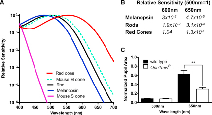 Enhanced Long-Wavelength Sensitivity of Cone Vision in Opn1mwR Mice(A) In Opn1mwR mice, the native mouse m-cone opsin (dotted green line, shows spectral sensitivity approximated by opsin nomogram [Govardovskii et al., 2000] with peak sensitivity [λmax] = 511 nm) is lost and replaced with a human red cone opsin (Smallwood et al., 2003) whose spectral sensitivity (red line; λmax = 556 nm) profile is quite distinct from that of mouse rod (λmax = 498 nm), melanopsin (λmax = 480 nm), and s-cone (λmax = 360 nm) opsins (black, blue, and purple lines, respectively).(B) Divergence in the spectral sensitivity of red cones, rods, and melanopsin is reflected in large differences in their relative sensitivity to mid- (500 nm) and long- (600 or 650 nm) wavelength light.(C) Red cone input to the pupil light reflex is revealed as a significant increase in response to a 1 min, 650 nm stimulus (3 × 1014 photons/cm2/s) in Opn1mwR mice compared with wild-type mice (mean ± SEM; t test, p < 0.01). The genotypes showed similar responses to an equivalent (1 min; 3 × 1014 photons/cm2/s) 500 nm stimulus (mean ± SEM; n = 8–12; t test, p > 0.05).