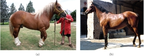 Horses of extreme and opposite morphological types:(a) Rapid Heavy Draft (brachymorphic type or heavy) and (b) Italian Trotter (dolichomorphic type or light).