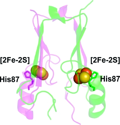 Protein backbone of the cytoplasmic exposed domain of the outer-mitochondrial membrane protein mitoNEET (PDB code 2QH7) showing the redox active [2Fe-2S] centers.(6a) MitoNEET is a homodimer, with one protomer shown in magenta and the other in green. Each protomer contains a [2Fe-2S] center (shown as spheres) coordinated by 3-Cys and 1-His, with the hallmark single-coordinating His87 indicated. The distance between the [2Fe-2S] centers is ∼16 Å from center-to-center. His87 coordinates to the outer, more solvent exposed, Fe of the [2Fe-2S] center, where the electron is predominantly localized upon reduction.