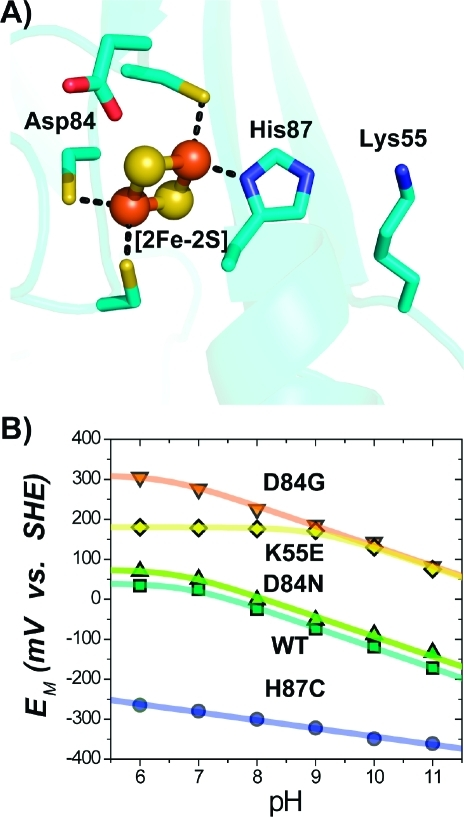 (A) Structure near the [2Fe-2S] center (Fe atoms as red spheres, sulfur as yellow) of mitoNEET showing both the ligating and nearby (<5 Å) titratable residues. (B) Representative pH dependences of the EM for select mutants. WT, D84G, and D84N exhibit similar dependences (−51 mV/pH) at pH ≥ 7, implying that, in these cases, reduction remains proton-coupled. H87C shows a more shallow slope (−15 mV/pH) for the pH-dependence,(10) indicating that His87 is principally responsible for the observed proton coupling in WT. Replacement of Lys55 with Glu (K55E) shifts the pKox of His87 from 6.7 ± 0.2 to 9.2 ± 0.2.