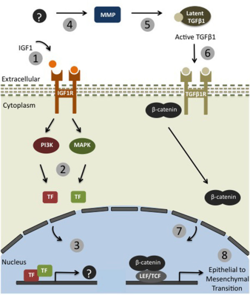 Schematic Model of IGF-1 and TGF-β1 signaling in MCF-7 breast cancer cells. 1) IGF-1 binds IGF-1 receptor. 2) IGF-1 receptor signals through the PI3K and MAPK pathways. 3) IGF-1 signaling causes transcriptional activation of unknown target genes (?). 4) Unknown target protein(s) (?) are secreted and activate MMPs. 5) Active MMPs are available to activate latent molecules in the ECM, such as TGF-β. 6) Active TGF-β1 binds TGF-β1 receptor. 7) TGF-β signaling causes nuclear localization of β-catenin. 8) TGF-β signaling causing transcriptional activation of genes that result in an EMT.