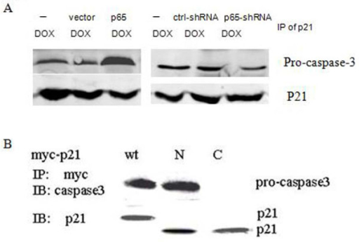 Pro-caspase-3 physically associated with cytoplasmic p21 induction by p65 in PANC1 cells. (A) Cells were transiently transfected with or without over-expression of p65 and p65-targeted shRNA followed by DOX treatment (2 μg/ml) for 24 h. Whole cell extract was subjected to immunoprecipitation with anti-p21 antibody and then immunoblotted with anti-pro-caspase-3 or -active-caspase-3 antibody. (B) Cells were transfected with vector expressing wild-type (1-585), N-terminal (1-372) and C-terminal (373-585) region of p21 followed by DOX treatment (2 μg/ml) for 24 h. Immunoprecipitation with an antibody against myc peptide. The pro-caspase-3 and p21 amounts were assessed by Western blotting.