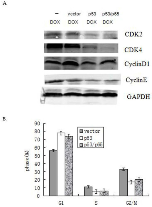 P53 promoted DOX-induced cell death was partly due to its ability to stop cell cycle progression. Cells were transiently transfected with or without over-expression of p53 alone or p53 and p65 together followed by DOX treatment (2 μg/ml) for 24 h. (A) The level of CDK2, CDK4, cyclinD1 or cyclinE protein were detected by Western blotting. GAPDH was used as controls. (B) Cell cycle pattern. Error bar indicates the standard error of the mean of three independent experiments.