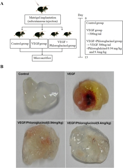 how to show experimental treatment on mice protocol figure