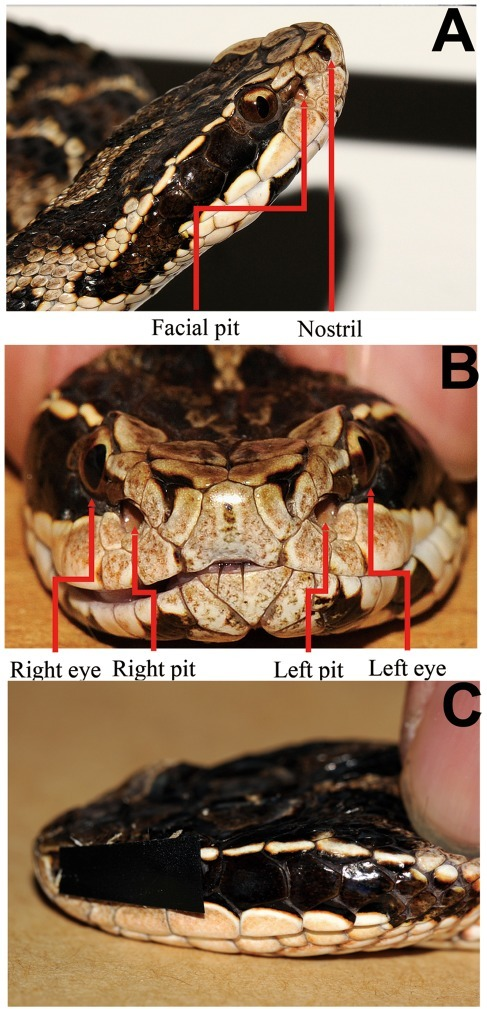 Positions of pits and eyes and demonstrate of sensory occlusion.A: Photograph of the head of Gloydius brevicaudus showing the location of the lateral facial pit organ between the ipsilateral eye and nostril. B: Photograph of the rostral view of the head of G. brevicaudus showing both eyes and facial pits. C: A photograph of an experimental subject illustrating left side sensory occlusion (see Materials and Methods for explanation).