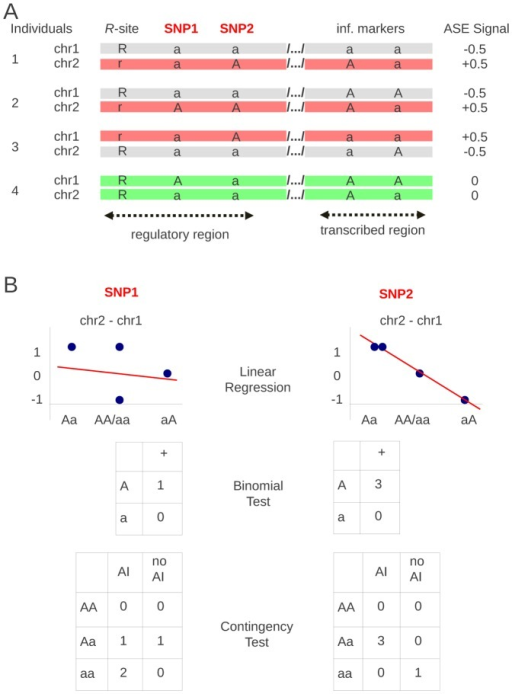Ideograms of linear regression and binomial haplotype-based tests, and of contingency genotype-based test.How AI results are used in the three tests with hypothetical SNPs, SNP1 and SNP2, chosen such that SNP1 is not linked to the R-site whereas SNP2 is.