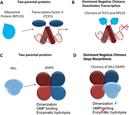 Putative Chimeric Proteins Can Exert Dominant Negative