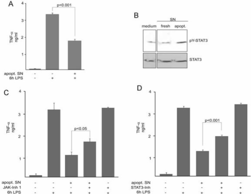 The anti-inflammatory effects of apoptotic cells are mediated through activation of JAK/STAT3 signallingApoptotic neutrophil culture supernatants (apopt. SN) suppress LPS-induced TNF-α release. Monocytes were pre-treated for 3 h with apopt. SN and subsequently stimulated with LPS for 6 h. TNF-α contents in the culture media were measured by TNF-α ELISA.Activation of STAT3. Monocytes were treated with culture supernatants from either fresh or apoptotic cells for 1 h. STAT3 activation was detected by immunoblotting of cell lysates with the anti-pTYR705-STAT3 antibody. Total STAT3 levels were visualized by reprobing the membrane using a STAT3 antibody.Involvement of JAK in the dampening of acute TNF-α release by apoptotic cell supernatants. Monocytes were treated with apopt. SN for 3 h with or without a prior incubation with JAK inhibitor 1 for 15 min. Monocytes were then stimulated with LPS for 6 h and TNF-α levels in the culture media were measured by ELISA.STAT3 dependence of the inhibitory effect of apoptotic cell supernatants. Monocytes were pre-treated with the specific STAT3 Inhibitor VI for 30 min prior to treatment with the apoptotic neutrophil supernatant for 3 h and the LPS stimulation for 6 h. ELISA data are presented as the mean ± SEM of four independent experiments. The significance of the differences was evaluated by one-way ANOVA followed by Bonferroni's Multiple Comparison Test. p-values < 0.05 were considered significant. In (B), a representative blot of three independent experiments is shown.