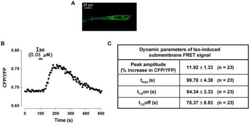 Effect of transient activation of β-AR on submembrane [cAMP] in RASMCs.Submembrane cAMP measurements were conducted in cultured RASMCs cells using the plasma membrane-targeted FRET-based cAMP sensor pm-Epac2-camps in response to a short application of isoproterenol (Iso, 0.01 µM, 15 s). A: Submembrane localization of pm-Epac2-camps was ascertained by recording the CFP emission. B: Variation of the CFP/YFP ratio monitored in one cell. C: Dynamic parameters (peak amplitude, tmax, t1/2on, and t1/2off) of isoproterenol-induced FRET signal as shown in B. Data are mean±SEM of 23 independent cells.
