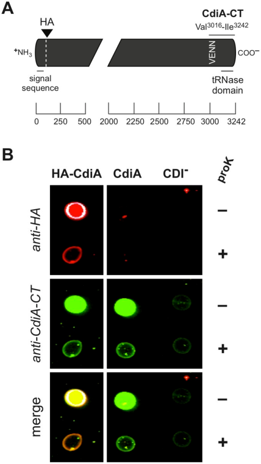 CdiAUPEC536 and HA-CdiAUPEC536 are exported to the cell surface.A) Schematic of the CdiAUPEC536 exoprotein depicting the locations of the inserted N-terminal hemagglutinin (HA) epitope tag and the CdiA-CT region (residues Val3016– Ile3242) used to generate anti-CdiA-CTUPEC536 polyclonal antibodies. Regions corresponding to the secretion signal sequence and the toxic tRNase domain are indicated. The vertical VENN sequence demarcates the N-terminal margin of the variable CdiA-CT sequence. Residue numbers are shown by the scale bar below. B) Whole-cell immunoblot analysis of E. coli cells expressing CdiAUPEC536 and HA-CdiAUPEC536. Cells expressing HA-CdiAUPEC536 (HA-CdiA), CdiAUPEC536 (CdiA) or no effector protein (CDI-) were fixed without permeabilization and stained with anti-HA or anti-CdiA-CTUPEC536 (anti-CdiA-CT) antibodies. Where indicated, cells were treated with proteinase K (proK) prior to fixation. Stained cells were spotted onto nitrocellulose membrane and analyzed with an Odyssey infrared imager.