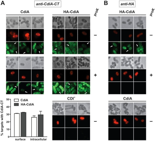 CdiA-CTUPEC536 is delivered into target cells.A) Anti-CdiA-CTUPEC536 immunofluorescence microscopy of CDIUPEC536 co-cultures. Non-fluorescent inhibitor cells expressing either CdiAUPEC536 (CdiA) or HA-CdiAUPEC536 (HA-CdiA) were mixed with red fluorescent target cells (2∶1 inhibitor-to-target ratio) for 1 h. Cells were then fixed and permeabilized for fluorescence microscopy using anti-CdiA-CTUPEC536 (anti-CdiA-CT) antibodies as described in Methods. Green fluorescence is indicative of anti-CdiA-CT immunostaining. Where indicated (+), cells were treated with proteinase K prior to fixation. The histogram quantifies the percentage of target cells (average ± SEM) with surface and internal CdiA-CTUPEC536 antigen staining. At least 150 target cells from two independent experiments were scored for the quantification of CdiA delivery. B) Anti-HA epitope immunofluorescence microscopy of CDIUPEC536 co-cultures. Co-culture conditions and sample preparation was as described in panel A except that anti-HA antibodies were used for immunofluorescence. Green fluorescence is indicative of anti-HA immunostaining. Where indicated (+), cells were treated with proteinase K prior to fixation.