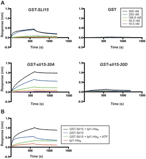 Binding kinetic analysis of wild type and mutant versions of Sli15 to immobilized microtubules by biolayer interferometry.A comparison of the binding abilities between recombinant GST-Sli15-His6 and its mutants to 5 µM taxol-stabilized, biotinylated polymerized tubulin, immobilized to streptavidin-coated biosensors is shown. (A) Binding results for five different concentrations of wild-type and mutant Sli15 (see inset) with equivalent concentrations of recombinant GST protein used as a control. Data shown are representative of three separate experiments. (B) Binding of wild type Sli15 and Ipl1 alone or in combination to taxol-stabilized, biotinylated polymerized tubulin with or without Sli15 phosphorylation by Ipl1 (+ATP); see inset for key. Data shown are representative of two separate experiments.