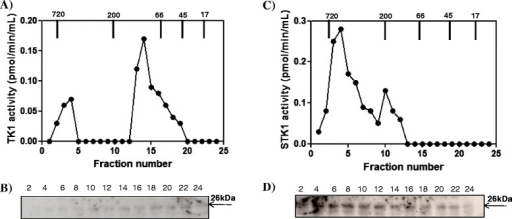 Canine mammary tumor (CMT) (dog No. 23) tumor tissue extract and serum analyzed by Superose 12 column chromatography. (A) Thymidine kinase 1 activity in the fraction from the CMT tissue extract (•). (B) Western blot analyses of the same fractions. (C) Thymidine kinase 1 activity in the fractions from the CMT serum (•). (D) Western blot analyses of the same fractions. Arrows indicate the elution position of the molecular weight (MW) markers. Numbers represent the fast protein liquid chromatography (FPLC) fractions.