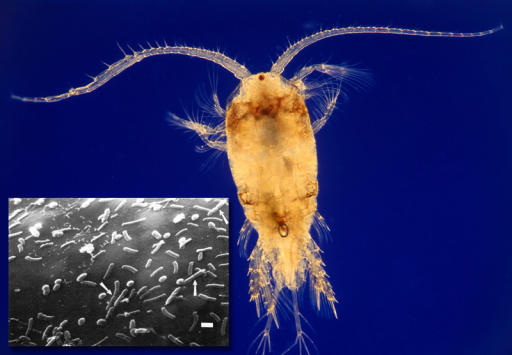 Planktonic organisms called copepods are the natural hosts for vibrios. The inset shows V. cholerae dividing on the surface of a copepod egg sac (arrows). A single copepod may carry 10,000 vibrios.Copepod: © Albert Lleal/Minden Pictures/Corbis; V. cholerae: Huq et al. (1983)6