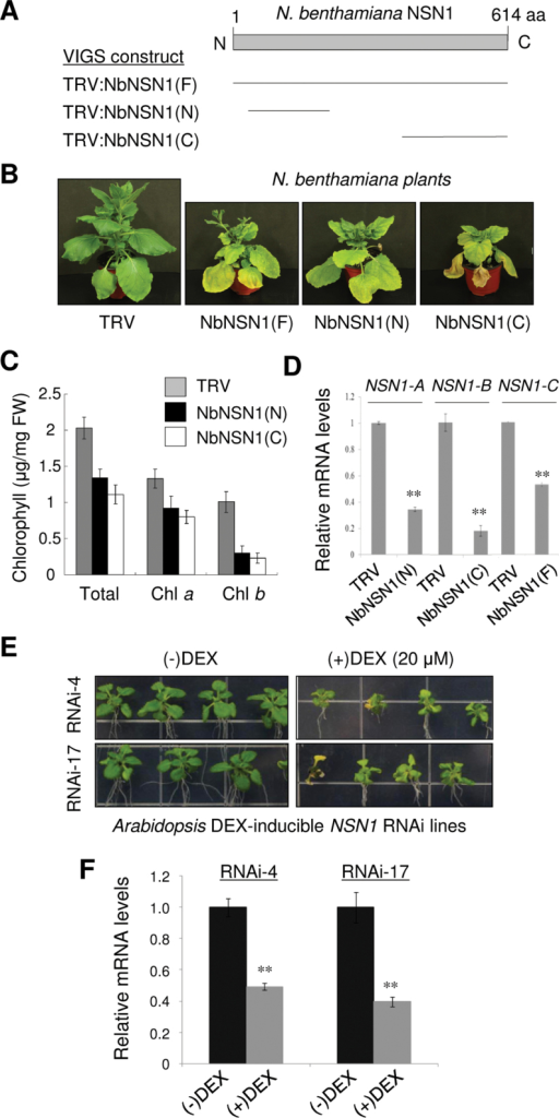 Silencing of NSN1 using VIGS and DEX-inducible RNAi in N. benthamiana and Arabidopsis. (A) Schematic of N. benthamiana NSN1 (NbNSN1) structure and three VIGS constructs (F, N, and C) that contain different NbNSN1 cDNA fragments, as indicated by the bars. (B) Phenotypes of VIGS plants. NbNSN1 VIGS resulted in growth retardation and premature senescence 20 days after infiltration (DAI), as compared with the control TRV. (C) Quantification of total chlorophyll, chlorophyll a, and chlorophyll b contents in TRV and TRV:NbNSN1 plants (20 DAI). The fourth leaf above the infiltrated leaf was used for the analysis. (D) Real-time quantitative RT–PCR analysis of NbNSN1 transcript levels in TRV:NbNSN1(N), TRV:NbNSN1(C), and TRV:NbNSN1(F) plants (14 DAI) using NSN1-A, NSN1-B, and NSN1-C primers, respectively. The fourth leaf above the infiltrated leaf was used for the analysis. The α-tubulin mRNA level was used as control. Data represent the mean ±SD of three replicates per experiment; *P≤0.05; **P≤0.01. (E) Growth retardation and premature senescence in Arabidopsis DEX-inducible NSN1 RNAi lines (#4 and #17) in response to DEX treatment. Seedlings were grown for 18 d on media that contained either ethanol (–DEX) or 20 μM DEX (+DEX). (F) Real-time quantitative RT–PCR analysis of NSN1 transcript levels in the RNAi lines (#4 and #17) grown for 2 weeks on (–)DEX or (+)DEX media. RNA was isolated from the whole seedlings. The UBC10 mRNA level was used as control. (This figure is available in colour at JXB online.)