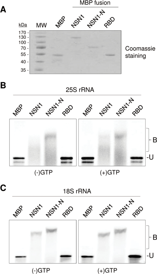 Gel mobility shift assay to detect RNA binding activity of NSN1. (A) Maltose-binding protein (MBP)-fused NSN1 and NSN1 derivatives were purified from E. coli, and the eluted proteins were visualized by Coomassie blue staining. NSN1-N, N-terminal domain of NSN1 (amino acids 1–174); RBD, a putative RNA-binding domain of NSN1 (amino acids 374–400). Size markers are indicated. (B, C) MBP, MBP:NSN1, MBP:NSN1-N, and MBP:RBD fusion proteins (100 pmol) were incubated with 200ng of radiolabelled 25S rRNA (B) or 18S rRNA (C) with or without GTP (100 μM). Bound (B) and unbound (U) RNAs were resolved on an agarose gel and visualized by phosphorimaging.
