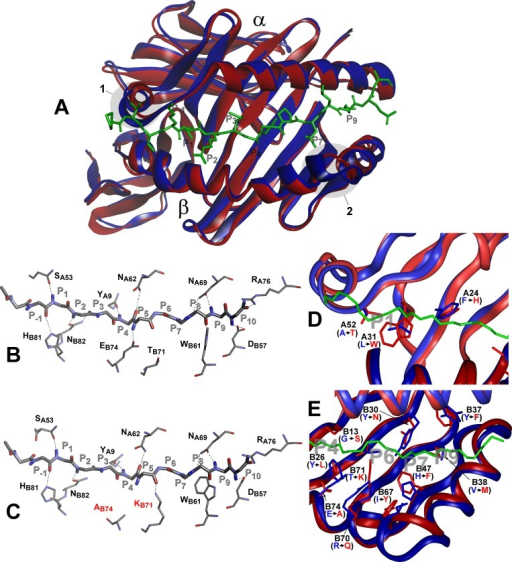 Molecular model of H2-Aj molecule in comparison to H2-Ab.Top view of structural overlay of the peptide-binding domains of H2-Ab (blue) and H2-Aj (red) alleles, bound to CLIP peptide (green). α- alpha and β–beta chains. 1 –α- subunit 310 helix, 2- β subunit region with two AA (P65E66) deletions in j-haplotype (A). Comparison of the H-bond network between H2-Ab (B) and H2-Aj (C) molecules containing CLIP peptide backbone (P-1-P10). MHC Class II conserved residues that contribute to the peptide- MHC hydrogen-bonding network are shown in stick representation. Dashed lines indicate conservative hydrogen bonds with the exception of Ab74 and Kb71 (marked red) in the H2-Aj molecule. D -Comparison of pocket structures of the MHC- binding groove between H2-Ab (blue) and H2-Aj (red). The CLIP peptide backbone is shown in green, P1, P4, P6, P7 and P9 pockets in grey. AA substitutions in the α-chain contribute mostly to the differences in the P1 structure, AA substitutions in the β-chain determine differences in P4, P6, P7 and P9 pockets (E). Potentially most important substitutions are marked and their side chains shown.