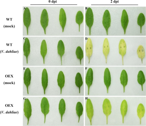 Enhanced disease resistance of Arabidopsis against V. dahliae after GbSBT1 overexpression.Wild-type (WT): Arabidopsis Columbia type Col-0; OEX: transgenic GbSBT1 lines. Left panels: un-inoculated plants; right panels: plants 2 days after V. dahliae inoculation. (A–B) WT plants 0 and 2 days after ddH2O inoculation; (C–D) WT plants 0 and 2 days after V. dahliae inoculation; (E–F) transgenic GbSBT1 plants 0 and 2 days after inoculation with ddH2O containing 0.2% Tween-20; (G–H) transgenic GbSBT1 plants 0 and 2 days after V. dahliae inoculation. At least three biological replicates were performed in the V. dahliae resistance analysis.