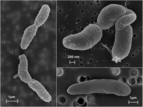 Scanning electron micrographs of Pseudomonas putida SQ1. Cells derived from a liquid culture (LB medium)