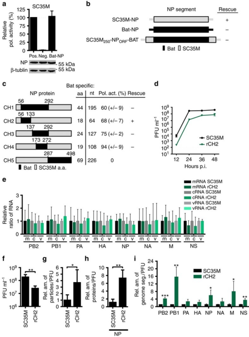 Limited compatibility of SC35M/bat NP chimeras to rescue and package viral genomes of SC35M.(a) SC35M polymerase activity in the presence of Bat NP. HEK293T cells were transiently transfected with expression plasmids coding for PB2, PB1, PA of SC35M, the indicated NP proteins, a minigenome encoding the firefly luciferase and a Renilla luciferase expression plasmid to normalize for variations in transfection efficiency. In the negative control (Neg.) PB1 was omitted. Western blot analysis was performed to determine the expression levels of NP. (b) Cartoon depicting NP segments of A/SC35M (SC35M NP), HL17NL10 (Bat NP) or a NP segment (SC35M250-NPORF-Bat) harbouring the non-coding regions of SC35M NP, 5′ and 3′ coding sequences of SC35M NP and the complete ORF of Bat NP. +successful rescue; −no rescue. (c) Relative SC35M polymerase activities in the presence of the mutant NP proteins (CH1–CH5). Mean and s.d. of three independent experiments are indicated in parenthesis. SC35M rescue experiments were performed with NP segments encoding the indicated mutant proteins. +successful rescue; −no rescue. (d) MDCKII cells were infected at an MOI of 0.001 with wt SC35M or rCH2. At the indicated time points post infection (p.i.), virus titres were determined by plaque assay. (e) Relative ratio of the viral transcript level in wt SC35M- or rCH2-infected cells. Steady state levels of viral transcripts (mRNA, cRNA and vRNA) and 5S ribosomal RNA (5S rRNA) were determined by primer extension analysis using total RNA from MDCKII cells infected at an MOI of 5 with wt SC35M or rCH2 for 6 h. Signal intensities were normalized to the signal intensities obtained with 5S rRNA. Normalized values obtained in wt SC35M-infected cells were set to 1 (all non-significant). (f) Viral infectivity of SC35M and rCH2 (PFU) using identical HA titre. **P<0.01. (g) Relative ratio of the number of viral particles (counted by electron microscopy) divided by the number of infectious particles (determined by plaque assay) between wt SC35M and rCH2. Values obtained for SC35M were set to 1. *P<0.05. (h) Ratio of incorporated NP protein in viral particles between SC35M and rCH2. Protein levels were determined by Western blot analysis of virus stocks with equal infectivity (PFU). **P<0.01. (i) Relative ratio of genome segments in viral particles preparations of SC35M and rCH2. RNA was prepared from virus stocks with equal PFU and subjected to quantitative RT-PCR. Levels of viral genome transcripts obtained with SC35M were set to 1. *P<0.05; **P<0.01; ***P<0.001. Student's t test was used for two-group comparisons. Error bars indicate the mean and s.d. of at least three independent experiments.