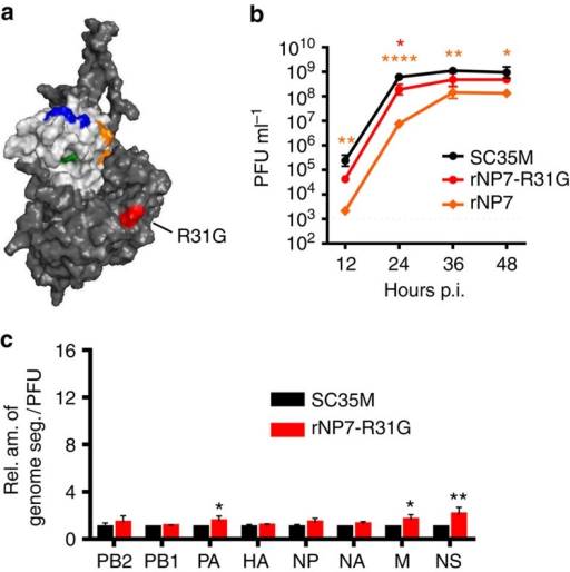 The compensatory amino acid substitution R31G in NP7 improves viral growth and genome packaging.(a) Positions of Bat NP-specific amino acids in the head domain and R31G body domain of NP7 using the modelled crystal structure of SC35M NP. The program PyMOL was used to assign the indicated positions. Bat-specific amino acids are marked in the colour code used in Fig. 3b. (b) MDCKII cells were infected at an MOI of 0.001 with wt SC35M, rNP7 or rNP7-R31G. At the indicated time post infection (p.i.), viral titres were determined by plaque assay. *P<0.05; **P<0.01; ****P<0.0001. (c) Relative ratio of genome segments identified in viral particles preparations of SC35M and rNP7-R31G. RNA was prepared from virus stocks with identical infectivity (PFU) and subjected to quantitative RT-PCR. Levels of viral genome transcripts obtained with wt SC35M were set to 1. *P<0.05; **P<0.01. Student's t test was used for two-group comparisons. Error bars indicate the mean and s.d. of at least three independent experiments.