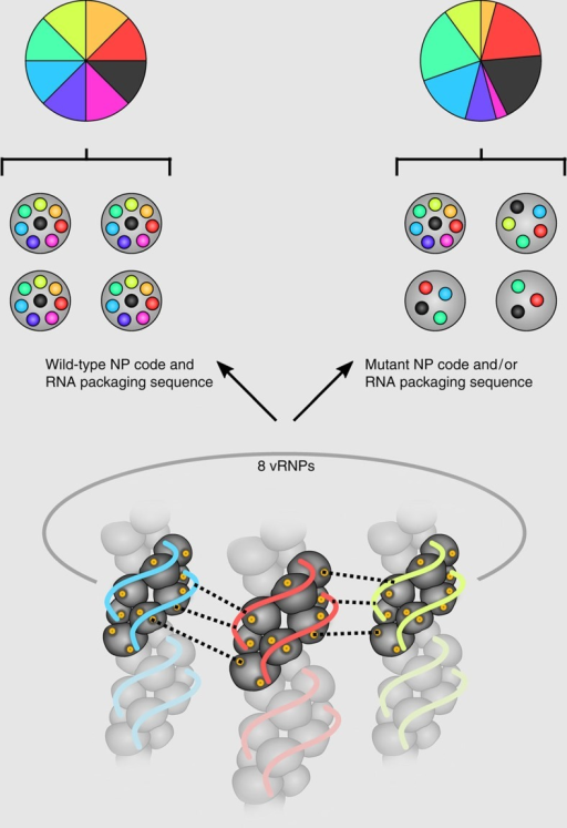 Genome packaging sequence or NP code mutations disrupt coordinated packaging of eight influenza genome segments into viral particles.Wt NP code and vRNA packaging sequences ensure coordinated incorporation of the eight different genome segments into influenza A virus particles, resulting in an equal ratio of the individual viral genome segments (left panel). As indicated by dashed lines, packaging could be coordinated by various interactions between segment-specific vRNPs, including interactions between vRNA packaging sequences, between vRNA packaging sequences in one vRNP and amino acids of the NP code (indicated in yellow) in a second vRNP, and direct interactions of the NP code amino acids. Mutations in the NP code and/or vRNA packaging sequence result in the loss of coordinated packaging of the eight different genome segments into viral particles and a disproportional ratio of the viral segments (right panel). Loss of coordinated packaging might be caused by impaired interactions between vRNPs mediated by amino acids of the NP code and/or nucleotides of the RNA packaging sequences.