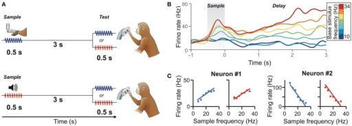 Cross-modal representation of flutter frequency in pre-SMA. (A) Delayed flutter discrimination task. The monkey is required to compare the frequency of two stimuli (first sample, then test) presented sequentially over a delay period between them. In the cross-modal condition, vibrotactile (top) or auditory flutter sample frequencies (bottom) are compared to auditory flutter or vibrotactile frequencies (respectively). (B) Time course of a PFC neuron responding monotonically to vibrotactile flutter frequencies during the sample and delay periods. Colors correspond to frequencies (Permission has been obtained from the copyright holder for the reproduction of this image from Romo and Salinas, 2003). (C) Monotonically increasing (neuron #1) and decreasing (neuron #2) response functions during the memory delay of two pre-SMA example neurons to both vibrotactile (blue) and auditory flutter frequencies (red). (from Vergara et al., 2016).
