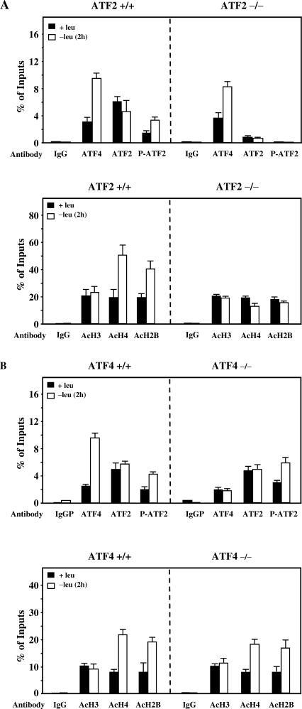 Role of ATF2 in histone acetylation in response to leucine deprivation. (A) ATF2 +/+ and ATF2 −/− MEF were incubated 2 h either in control (+leu) or leucine-free medium (−leu) and harvested. ChIP analysis was performed as described under Materials and Methods using antibodies specific for ATF4, ATF2, phospho-ATF2 (Thr-71), acetylated H3, acetylated H4 and acetylated H2B and a set of primers to produce amplicon B (Figure 2A). Data were plotted as the percentage of antibody binding versus the amount of PCR product obtained using a standardized aliquot of input chromatin. Each point represents the mean value of three independent experiments and the error bars represent the standard error of the means. (B) The same experiment as described in (A) was also performed with wild ATF4 +/+ and ATF4 −/− MEF.