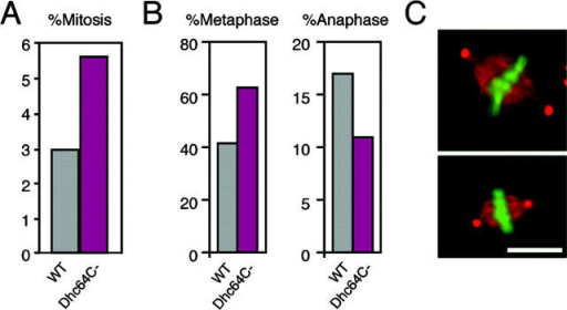 Accumulation of metaphase by cytoplasmic dynein knockdown. (A) Mitotic index of Dhc64C [DHC] RNAi at d 4 was 1.9-fold higher than controls. (B) Percentage of metaphase and anaphase in mitotic cells. Metaphase cells were accumulated, whereas anaphase was less frequently observed in RNAi samples. (C) Metaphase cells with congressed chromosomes. Cells treated with dsRNA for Dhc64C [DHC] were fixed and stained by γ-tubulin (red) and Hoechst 33342 (green) at d 4. Spindle-like structure was visualized by the overexposure of anti- γ-tubulin signals. Majority of the metaphase cells (64%; n = 22) had two punctate signals of γ-tubulin like untreated cells, and no apparent morphological defects in the spindle were detected (not depicted). Bar, 10 μm.