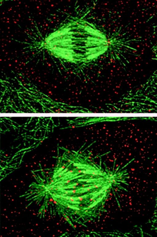 Dynein inhibition (bottom) prevents removal of Mad2 (red) from kinetochores.