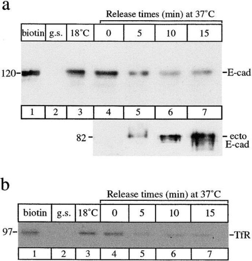 Recycling of E-cadherin. Cells were surface-biotinylated on ice, then incubated at 18°C for 2 h to allow endocytosis and accumulation of E-cadherin. After glutathione stripping cells were then returned to 37°C. At each chase time (0–15 min) cells were trypsinized to release cell surface proteins. Glutathione stripping immediately after biotinylation effectively removed all surface-biotinylated proteins (g.s., lane 2). Biotinylated proteins from both the cell-associated (a, top) and trypsin-released fractions (a, bottom) were recovered on streptavidin beads and analyzed by SDS-PAGE. Intact E-cadherin (120 kD) or its trypsin-cleaved, 82-kD ecto-domain (a) and TfR (b) were detected by immunoblotting with specific antibodies. (a) The top shows that internalized E-cadherin accumulated at 18°C (lane 3) gradually disappeared from the internal pool over 15 min (lanes 4–7). The bottom shows that the 82-kD ectodomain of biotinylated E-cadherin was initially detected after 5 min at 37°C (lane 5) and maximal amounts were detected after 15 min at 37°C (lane 7) showing that the internalized E-cadherin was recycling and reappearing on the cell surface. (b) Surface-biotinylated (lane 1) TfR was also internalized (lane 4) but disappeared from the internal pool (lanes 5–7) more rapidly under the same conditions. Results are representative of four experiments.