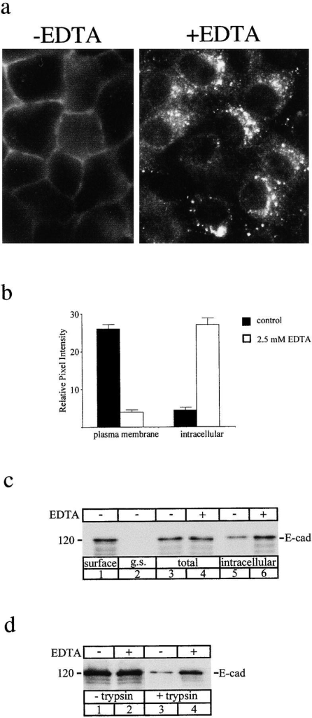 Endocytosis of E-cadherin after depletion of extracellular Ca2+. Internalization of E-cadherin was compared in untreated confluent MDCK cells and in cells incubated in medium containing EDTA to chelate extracellular Ca2+. (a) Immunofluorescence localization of E-cadherin in control MDCK cells (−EDTA) and MDCK cells incubated in DMEM containing 2.5 mM EDTA (+EDTA) and cycloheximide (10 μM) for 30 min. In the presence of EDTA cells show prominent intracellular vesicular staining of E-cadherin. (b) Quantification of relative fluorescence intensities at the cell surface and inside cells measured by SOM software showed that chelation of Ca2+ resulted in a dramatic increase in intracellular staining accompanied by a concomitant decrease in plasma membrane staining, indicative of E-cadherin endocytosis stimulated by EDTA. Data are means ± SEM . (c) Surface biotinylation. Cells were surface-biotinylated at 0°C (lane 1) and then incubated at 37°C in normal medium (lanes 3 and 5) or in medium containing EDTA (lanes 4 and 6) for 30 min to allow for internalization. Total biotinylated E-cadherin was unchanged in the total cell extracts under both these conditions (lanes 3 and 4). After glutathione stripping there was a significantly increased pool of internalized biotinylated E-cadherin after Ca2+ depletion (lane 6) compared to control cells (lane 5). Thus, EDTA treatment increased internalization of surface-biotinylated E-cadherin. (d) Surface trypsinization. Cells were incubated in normal media or in medium containing 2.5 mM EDTA for 30 min. Cell surface proteins were removed by trypsinization and the remaining E-cadherin in cell extracts was analyzed by SDS-PAGE and immunoblotting with a NH2 terminus antibody (3B8). Total cellular E-cadherin remained unchanged in the absence (lane 1) or presence (lane 2) of Ca2+ chelation. A small pool of internalized E-cadherin was detected after trypsin treatment in cells incubated in normal media (lane 3), but this pool was dramatically increased in the presence of EDTA (lane 4), showing increased internalization of surface E-cadherin. Results shown are representative of three independent experiments.