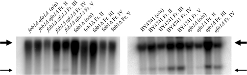 Old and young cells of the same strains as                                        in A were isolated by elutriation centrifugation and                                        ERCs were analyzed by gel electrophoresis and Southern blotting                                        with an rDNA-specific probe as described in [19]. Thick arrow:                                        chromosomal rDNA repeats; Thin arrow: ERCs (minicircles).                                        Taken together, the results presented in this figure indicate                                        that longevity in the afo1Δ strain is not influenced by the                                        fob1-deletion or the presence of ERCs.