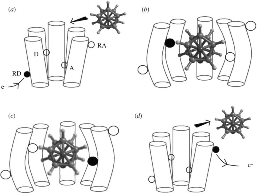 The proposed sequence of events according to Turin's theory of signal transduction is shown. The olfactory receptor is pictured here as a cartoon with five cylinders to represent the protein helices (there are typically seven); the odorant is a carborane isomer—a camphoraceous smelling molecule (Turin & Yoshii 2003). (a) Source of electrons available at RD. (b) Electron tunnels to site D (donor) as odorant docks and deforms receptor. (c) Electron tunnels to A (acceptor) mediated by odorant phonon. (d) Odorant is expelled and electron transmission to RA initiates signal.